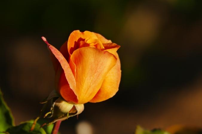 rosegarden6-17-15 079