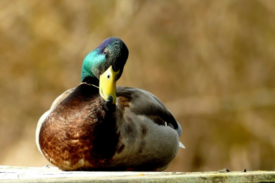 Mallard at Log Boom Park - March 2015.