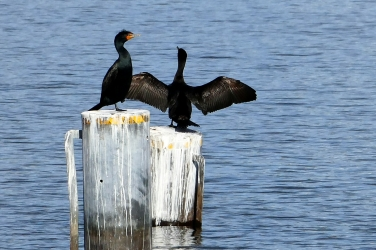 double-crested cormorants at matthews beach in seattle