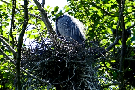 great blue heron nesting in commodore park seattle