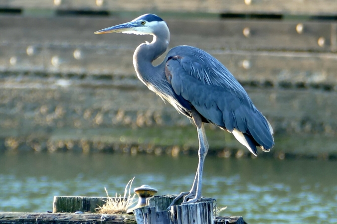 great blue heron in commodore park seattle