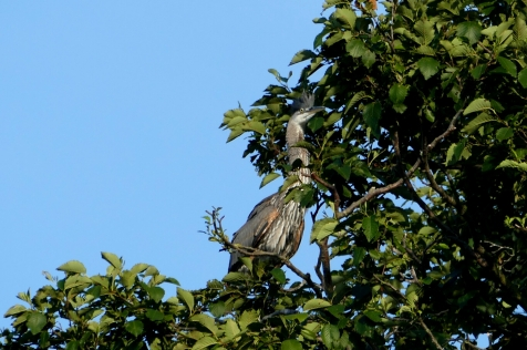 great blue heron colony at commodore park seattle