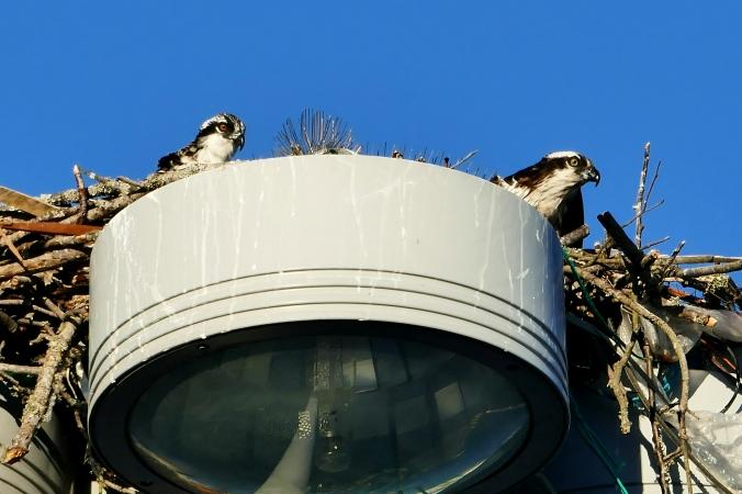 osprey nest fishermen's terminal seattle