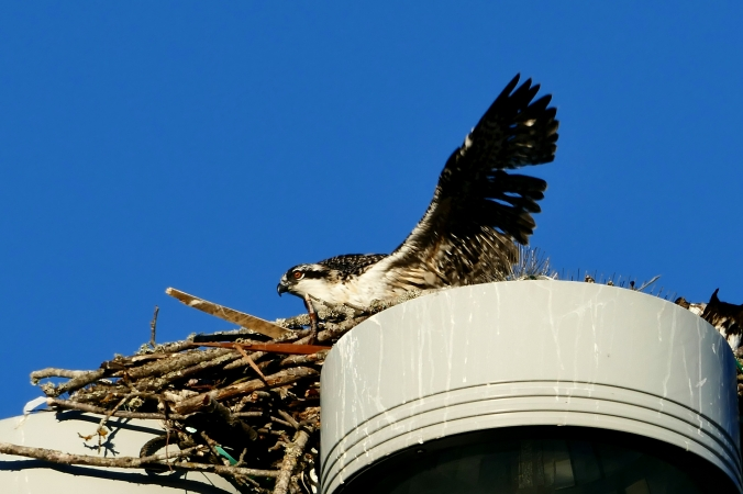 osprey nest seattle fishermen's terminal