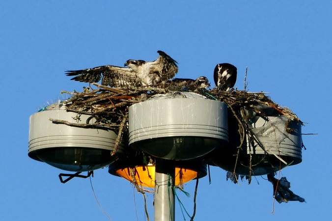 seattle fishermen's terminal osprey nest
