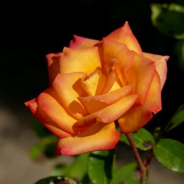 seattle woodland park rose garden