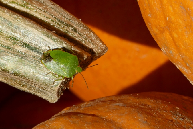 This bug looked like an ambulatory leaf crawling over the pumpkins.